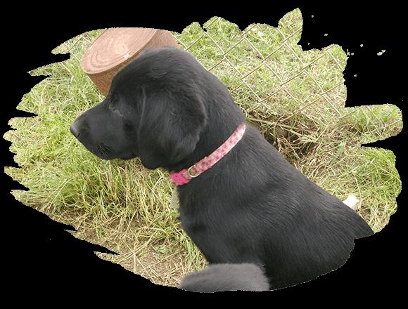g&d-Kennel-Retrievers-dog